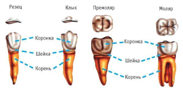 Типы зубов